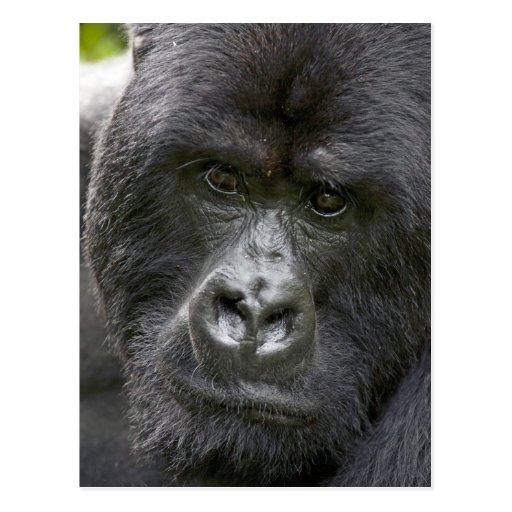 Volcanoes NP, Rwanda, Mountain Gorillas, Post Card