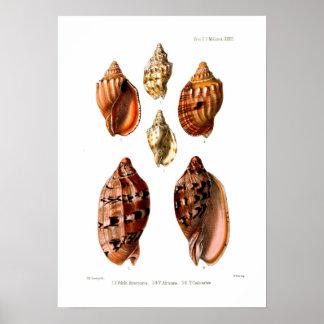 Voluta Shells Poster