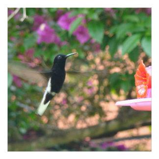 Vuelo blanco y negro del colibrí en un alimentador fotografías