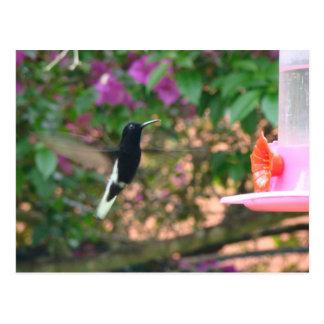 Vuelo blanco y negro del colibrí en un alimentador postales