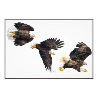 Vuelo de Eagle calvo Fotografía