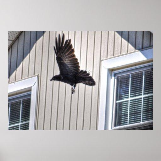 Vuelo del cuervo por arte fotográfico de la fauna  póster