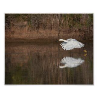 Vuelo del Egret nevado Fotografías