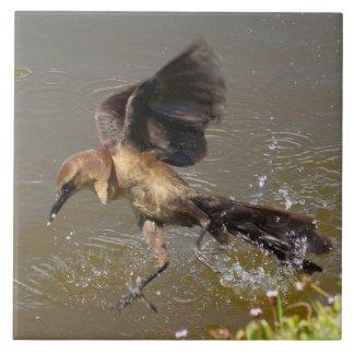 Vuelo del pájaro de Grackle que camina en la teja