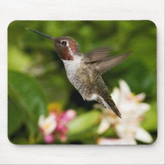 Vuelo masculino del colibrí alfombrillas de ratones