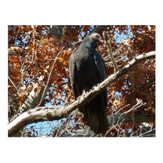 Vulture Peering Postcard