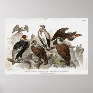 Vultures Antique Lithograph print