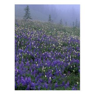WA, el Monte Rainier NP, Lupine y prado bistorta Tarjeta Postal