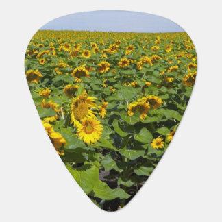 WA, Kittitas County, Sunflower Field Guitar Pick