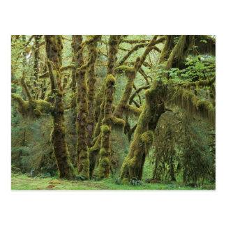 WA, NP olímpico, selva tropical de Hoh, Pasillo de Postales