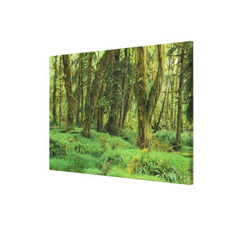 WA, NP olímpico, selva tropical de Quinault, musgo Impresión En Lienzo