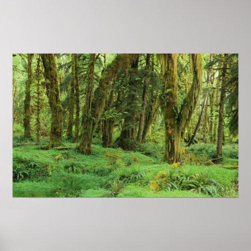 WA, NP olímpico, selva tropical de Quinault, musgo Póster