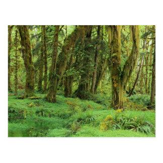 WA, NP olímpico, selva tropical de Quinault, musgo Postal