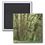 WA, Olympic NP, Hoh Rain Forest, Hall of Refrigerator Magnet