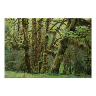 WA, Olympic NP, Hoh Rain Forest, Hall of Poster