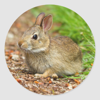 WA, Redmond, Eastern Cottontail baby rabbit Classic Round Sticker