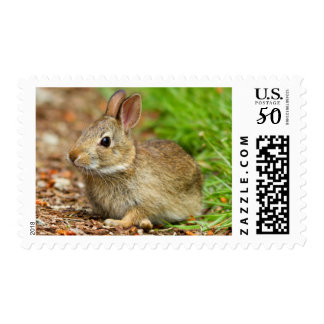 WA, Redmond, Eastern Cottontail baby rabbit Postage