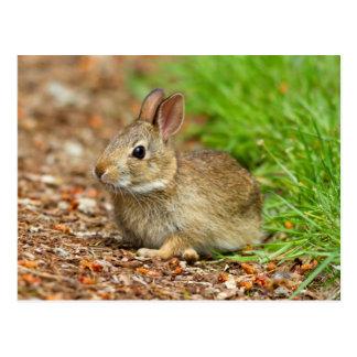 WA, Redmond, Eastern Cottontail baby rabbit Postcard