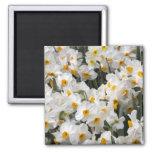 WA, Skagit Valley, Daffodil pattern 2 Inch Square Magnet