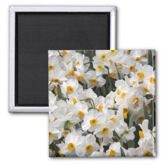 WA, Skagit Valley, Daffodil pattern Magnet