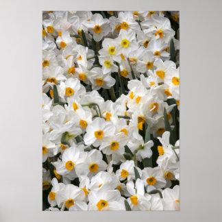 WA, Skagit Valley, Daffodil pattern Poster