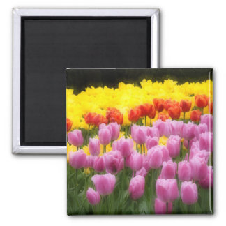 WA, Skagit Valley, Roozengaarde Tulip Garden, 2 2 Inch Square Magnet