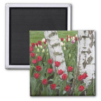 WA, Skagit Valley, Roozengaarde Tulip Garden 2 Inch Square Magnet