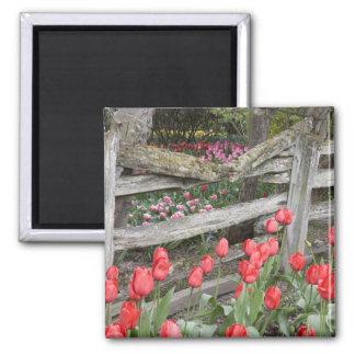 WA, Skagit Valley, Roozengaarde Tulip Garden, 2 Inch Square Magnet