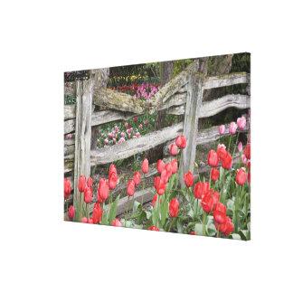 WA, Skagit Valley, Roozengaarde Tulip Garden, Canvas Prints