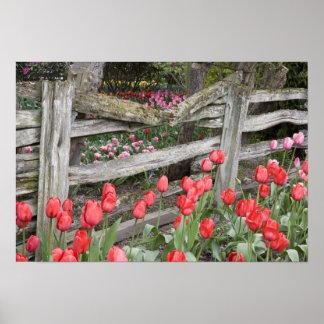WA, Skagit Valley, Roozengaarde Tulip Garden, Poster