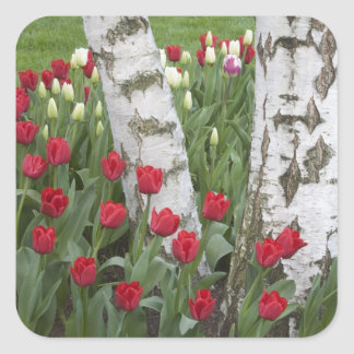 WA, Skagit Valley, Roozengaarde Tulip Garden Square Stickers