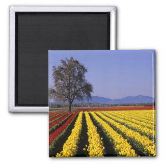 WA, Skagit Valley, Skagit Valley Tulip 2 2 Inch Square Magnet