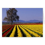 WA, Skagit Valley, Skagit Valley Tulip 2 Card