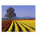 WA, Skagit Valley, Skagit Valley Tulip 2 Photo Print