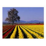 WA, Skagit Valley, Skagit Valley Tulip 2 Postcard