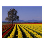 WA, Skagit Valley, Skagit Valley Tulip 2 Poster