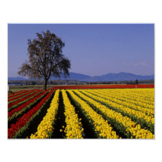 WA, Skagit Valley, Skagit Valley Tulip 2 Poster