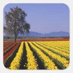 WA, Skagit Valley, Skagit Valley Tulip 2 Square Stickers