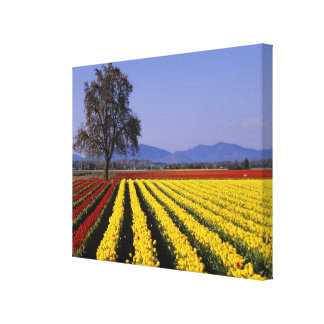 WA, Skagit Valley, Skagit Valley Tulip Canvas Print