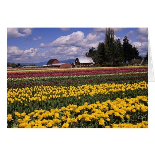 WA, Skagit Valley, Skagit Valley Tulip Greeting Card