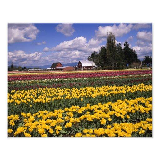 WA, Skagit Valley, Skagit Valley Tulip Photo Art