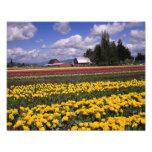 WA, Skagit Valley, Skagit Valley Tulip Photo Print