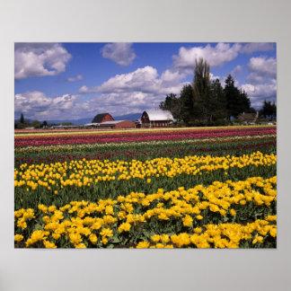 WA, Skagit Valley, Skagit Valley Tulip Poster
