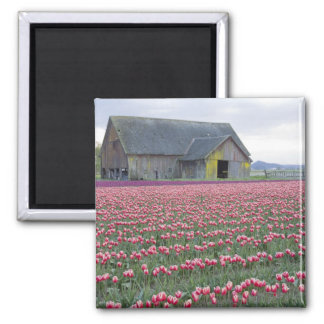 WA, Skagit Valley, Tulip Field and Barn 2 Inch Square Magnet