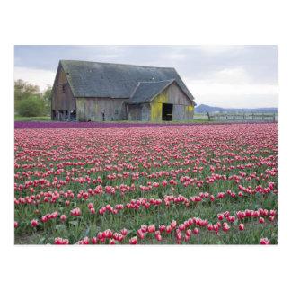 WA, Skagit Valley, Tulip Field and Barn Postcard