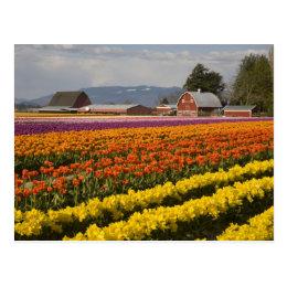 WA, Skagit Valley, Tulip fields in bloom, at Postcard