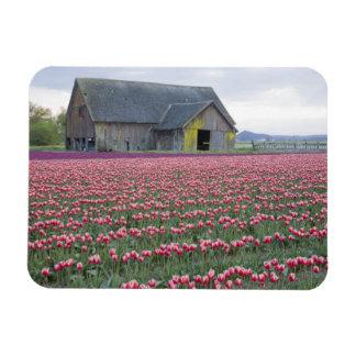 WA, valle de Skagit, campo del tulipán y granero Imán Foto Rectangular