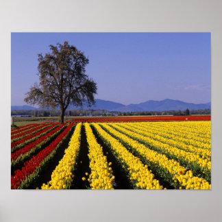 WA, valle de Skagit, tulipán 2 del valle de Skagit Póster