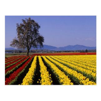 WA, valle de Skagit, tulipán 2 del valle de Skagit Tarjeta Postal