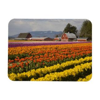 WA, valle de Skagit, tulipán coloca en la floració Imán